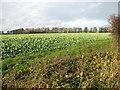 TF9026 : Next year's oilseed rape crop by Long Belt by Evelyn Simak