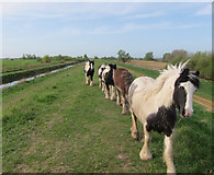 TL4279 : Ponies on the Ouse Washes bank by Hugh Venables