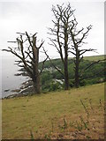 SX5646 : Dead trees above Church Cove by Philip Halling