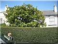 SX9372 : Magnolia grandiflora in a Fore Street front garden by Robin Stott