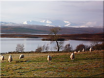 NC5314 : Sheep at Shinness, Loch Shin by sylvia duckworth