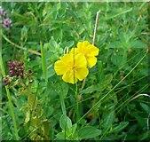 TQ1450 : Rockrose flowering among marjoram by Stefan Czapski