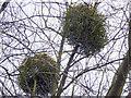 TQ3194 : Under the Mistletoe, Winchmore Hill, London N21 by Christine Matthews