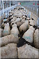 SO4742 : Sheep pens, Hereford Livestock Market by Philip Halling