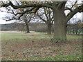 TL0992 : Mature Oak trees on the Elton Estate by Michael Trolove