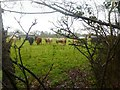SZ3094 : Efford, cattle grazing by Mike Faherty