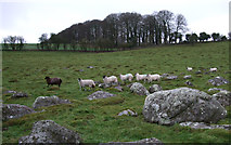 SU1470 : Sheep on Fyfield Down by Vieve Forward