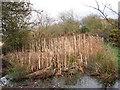 SJ6469 : Bulrushes alongside the Weaver by Stephen Craven