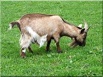 NO0936 : Goat at Stewart Tower by Maigheach-gheal