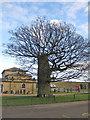 SE7169 : Pollarded oak, Castle Howard car park by Pauline E