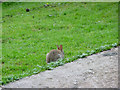 NY4103 : Rabbit at Troutbeck, Cumbria by Christine Matthews