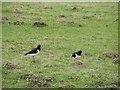 NN9539 : Oystercatchers (Haematopus ostralegus) by Maigheach-gheal