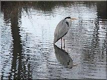 TQ1873 : Heron at Bishop's Lodge Pond, Richmond Park (2) by Stefan Czapski