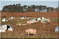 SK6057 : Allamoor Farm pigs by Richard Croft