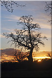 TL8063 : Silhouetted tree at Little Saxham by Bob Jones