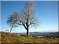 NY9223 : Large tree at Pin Gate by Karl and Ali