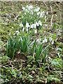 SU0212 : Snowdrops, Wimborne St Giles by Maigheach-gheal