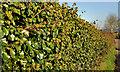 J4467 : Ivy hedge near Comber by Albert Bridge