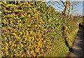 J4568 : Ivy hedge near Comber (2) by Albert Bridge