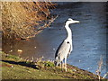 TQ2882 : Heron in Regent's Park by Colin Smith