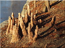 TQ2882 : Swamp Cypress Roots by Colin Smith