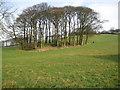 SJ9378 : Tree clumps off Long Lane Bollington by Peter Turner