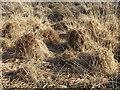 SU9853 : Grass Tussocks by Colin Smith