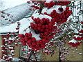 TF4108 : Red school berries by Richard Humphrey