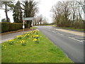 ST4690 : Late March daffodils, Caerwent by Jaggery