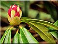 J3067 : Rhododendron bud, Dunmurry by Albert Bridge