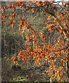 SX8474 : Oak leaves, Teigngrace by Derek Harper