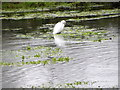 SU0425 : Little Egret from Causeway Bridge by Maigheach-gheal