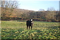 TQ5942 : Cow, Barnett's Local Nature  Reserve by N Chadwick