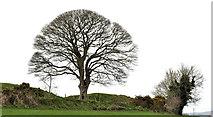 J3267 : Tree, the Giant's Ring, Belfast by Albert Bridge