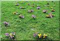 TL3501 : Crocus, Cedars Park, Cheshunt, Hertfordshire by Christine Matthews