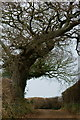 SZ5785 : Wind-blown Trees, Alverstone, Isle of Wight by Peter Trimming