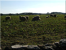 ST7981 : Arable crop with grazing sheep by Ruth Riddle