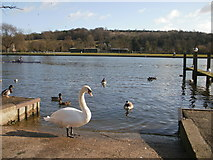 SU7682 : Bird life on the river at Henley-on-Thames by Peter S