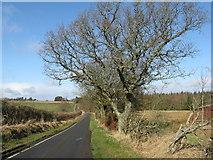 NT0561 : Oak tree on the road to Harburn by M J Richardson