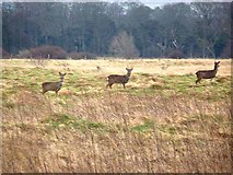 NT4681 : Roe deer at Aberlady Nature Reserve by Oliver Dixon
