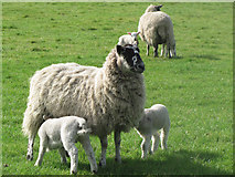 SP9013 : Twin Lambs at Wilstone Great Farm by Chris Reynolds