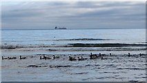 J3830 : Geese swimming in the sea off Newcastle by Eric Jones