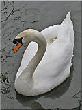 SE7170 : Swan on the Great Lake by Pauline E