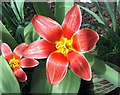 NZ3067 : Tulip by Christine Westerback