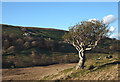 NY5410 : Venerable holly tree, Wet Sleddale by Karl and Ali