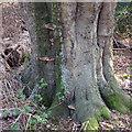 TQ4298 : Bracket fungus on beech tree by Roger Jones