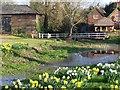 SU2526 : Riverside daffodils at West Dean by David Martin