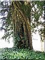 ST8038 : Yew tree, All Saints Church by Maigheach-gheal