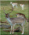 TQ1973 : Fallow buck in Richmond Park by Rob Farrow