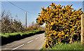J4174 : Whin bushes, Dundonald  (2) by Albert Bridge
